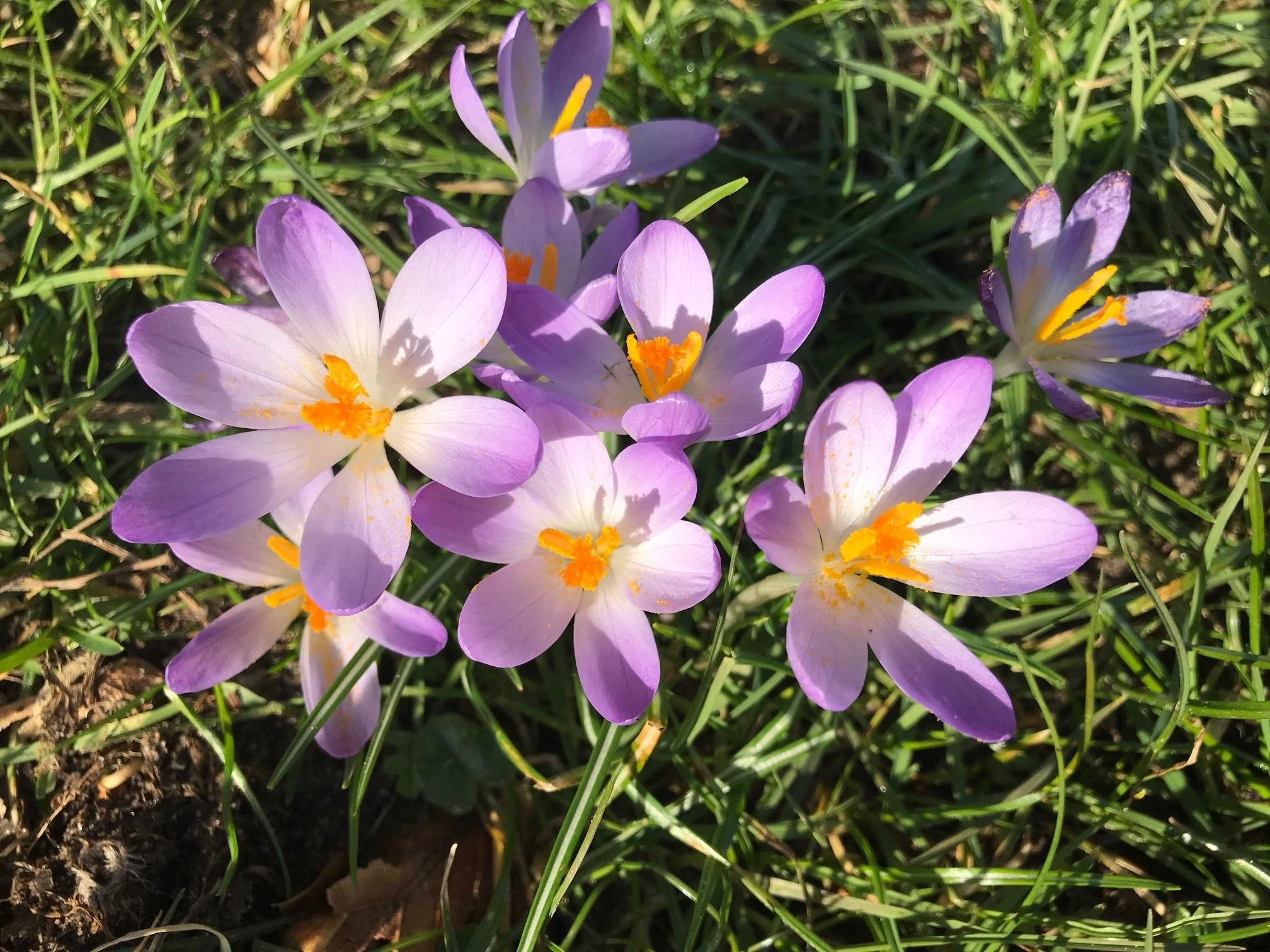 paarse krokussen in de maartse voorjaar zon.