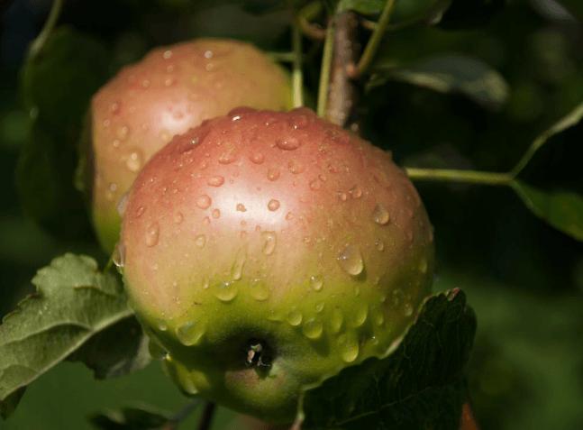 Frisse appels met druppels aan appelboom